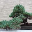 五葉松画像:デザイン原点回帰のため盆栽はじめました