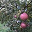 魚津の加積りんご 直売所で買った富居さんトコのりんごがメチャうま!