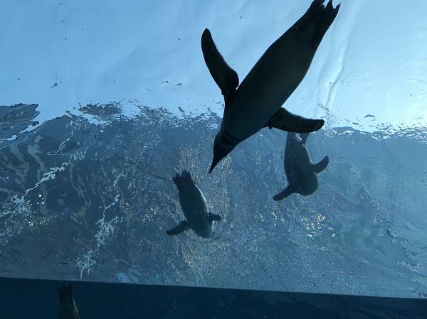 上越市立水族博物館うみがたりのペンギン